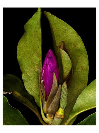 Garden Bud pink brown II--Framed Art Print