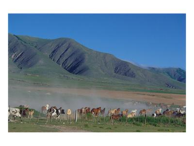 Horse and cattle herd at Tafi dell Valle near Tucuman, Argentina--Framed Art Print