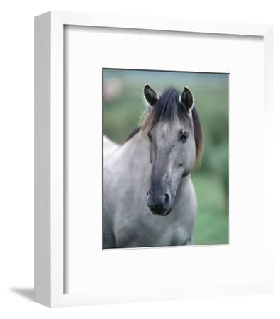 Przewalski's wild horse (Equus przewalskii gemini)--Framed Art Print