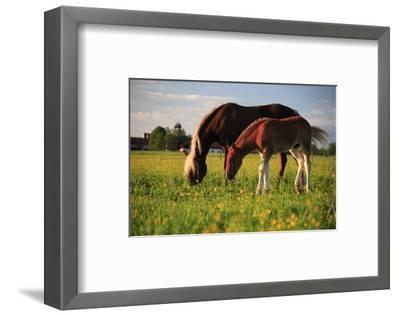 Mare and foal in the Kochelmoos near Benediktbeuern, Upper Bavaria, Bavaria, Germany--Framed Art Print