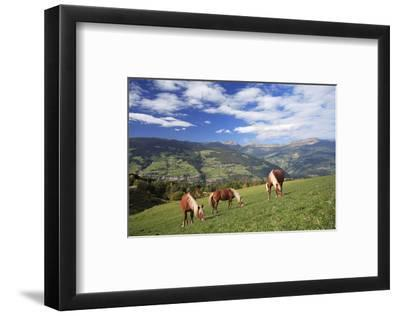 Haflinger horses on a mountain pasture, Valle d'Isarco, Dolomites, Province of Trento, Italy--Framed Art Print