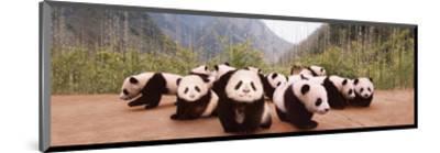 Panda Cubs--Mounted Art Print