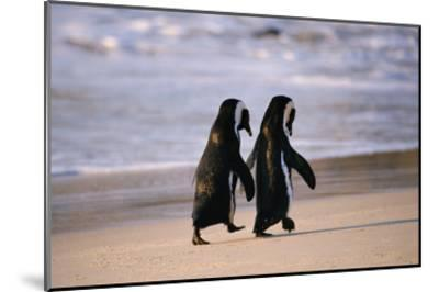 African Penguins--Mounted Art Print
