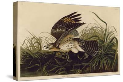 Winter Hawk-John James Audubon-Stretched Canvas Print