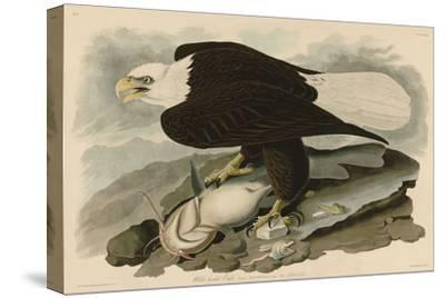White-Headed Eagle-John James Audubon-Stretched Canvas Print