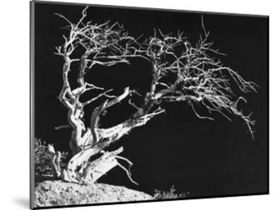 Bodi Tree-Albert Koetsier-Mounted Art Print
