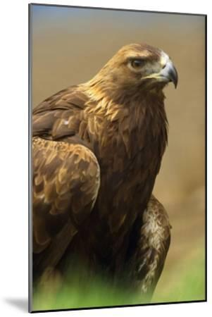 Golden Eagle portrait, North America-Tim Fitzharris-Mounted Art Print
