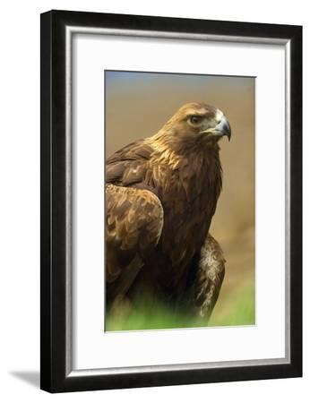 Golden Eagle portrait, North America-Tim Fitzharris-Framed Art Print