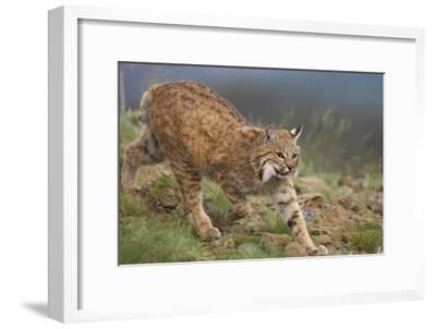 Bobcat stalking, North America-Tim Fitzharris-Framed Art Print