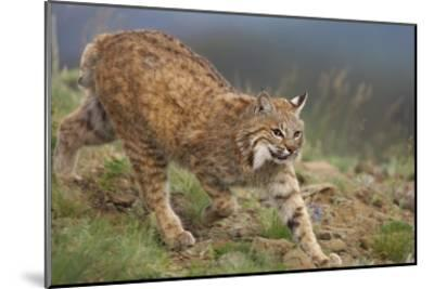 Bobcat stalking, North America-Tim Fitzharris-Mounted Art Print