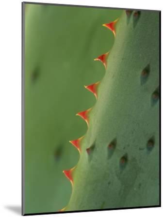 Cape Aloe spines-Tim Fitzharris-Mounted Art Print