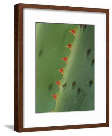 Cape Aloe spines-Tim Fitzharris-Framed Art Print