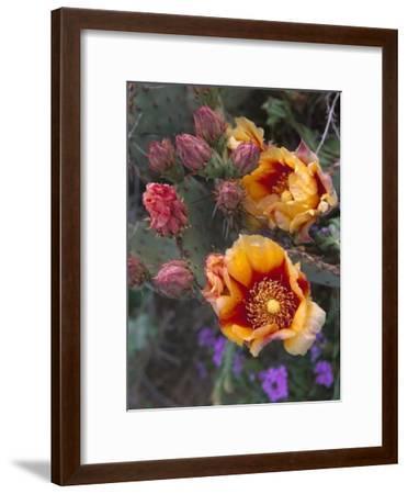 Opuntia in bloom, North America-Tim Fitzharris-Framed Art Print