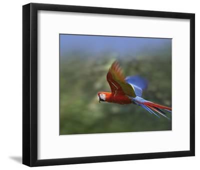 Scarlet Macaw flying, Costa Rica-Tim Fitzharris-Framed Art Print