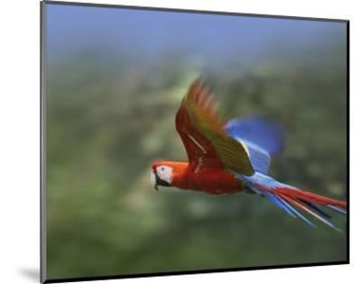 Scarlet Macaw flying, Costa Rica-Tim Fitzharris-Mounted Art Print