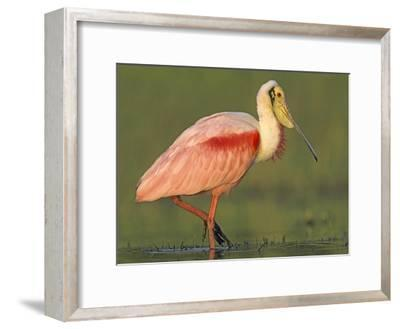 Roseate Spoonbill wading, North America-Tim Fitzharris-Framed Art Print