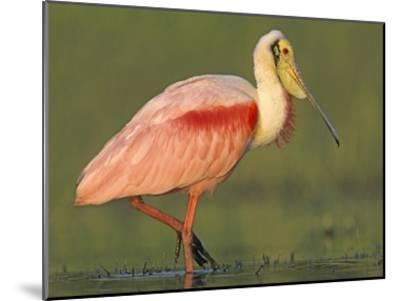 Roseate Spoonbill wading, North America-Tim Fitzharris-Mounted Art Print