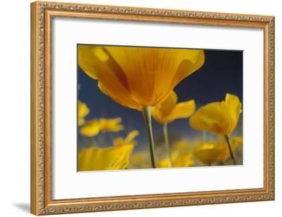 Mexican Golden Poppy detail, New Mexico-Tim Fitzharris-Framed Art Print