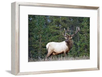 Elk or Wapiti male portrait, North America-Tim Fitzharris-Framed Art Print