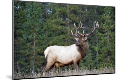 Elk or Wapiti male portrait, North America-Tim Fitzharris-Mounted Art Print