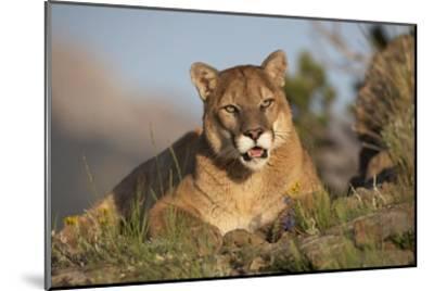 Mountain Lion portrait, North America-Tim Fitzharris-Mounted Art Print