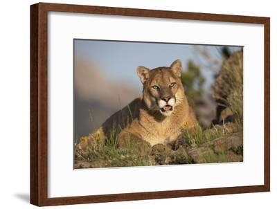 Mountain Lion portrait, North America-Tim Fitzharris-Framed Art Print