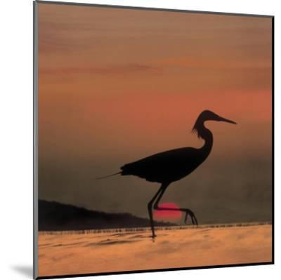 Little Egret silhouetted at sunset, Africa-Tim Fitzharris-Mounted Art Print