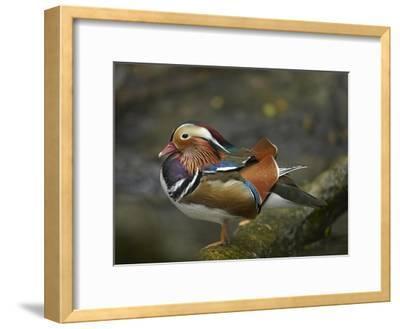 Mandarin Duck male, Jurong Bird Park, Singapore-Tim Fitzharris-Framed Art Print