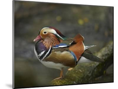 Mandarin Duck male, Jurong Bird Park, Singapore-Tim Fitzharris-Mounted Art Print