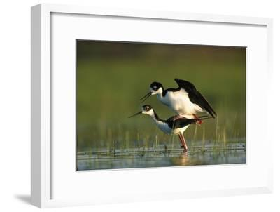 Black-necked Stilt couple mating, North America-Tim Fitzharris-Framed Art Print