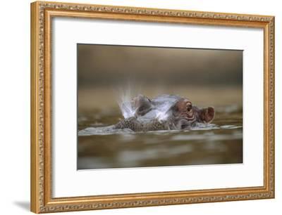 Hippopotamus breathing at water surface, Kenya-Tim Fitzharris-Framed Art Print