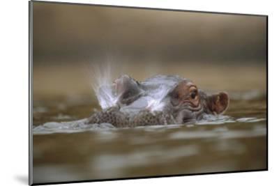 Hippopotamus breathing at water surface, Kenya-Tim Fitzharris-Mounted Art Print
