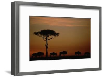 Blue Wildebeest herd migrating at sunset, Kenya-Tim Fitzharris-Framed Art Print