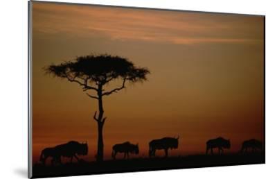 Blue Wildebeest herd migrating at sunset, Kenya-Tim Fitzharris-Mounted Art Print