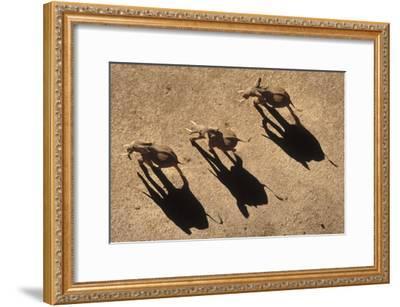 African Elephant trio aerial with shadows, Africa-Tim Fitzharris-Framed Art Print