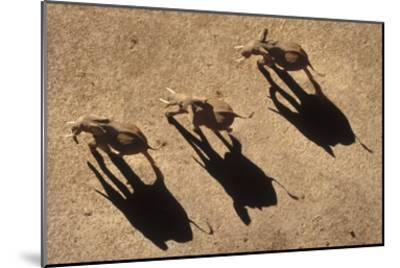 African Elephant trio aerial with shadows, Africa-Tim Fitzharris-Mounted Art Print