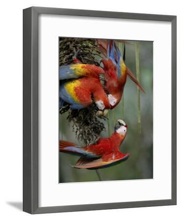 Scarlet Macaw trio feeding on palm fruits, Costa Rica-Tim Fitzharris-Framed Art Print