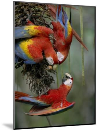 Scarlet Macaw trio feeding on palm fruits, Costa Rica-Tim Fitzharris-Mounted Art Print