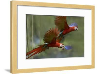 Scarlet Macaw pair flying with palm fruit, Costa Rica-Tim Fitzharris-Framed Art Print