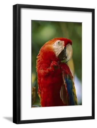 Scarlet Macaw, native to Central and South America-Tim Fitzharris-Framed Art Print