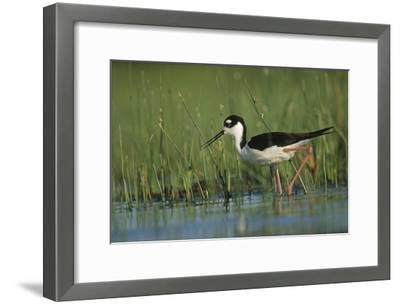 Black-necked Stilt wading through reeds, North America-Tim Fitzharris-Framed Art Print