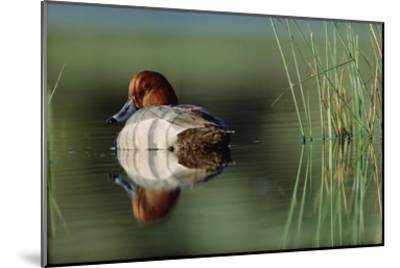 Redhead Duck male with reflection near reeds, Washington-Tim Fitzharris-Mounted Art Print