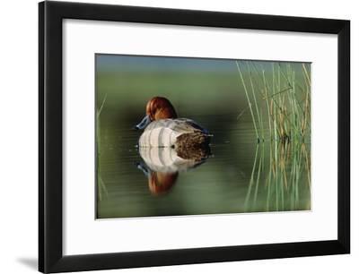 Redhead Duck male with reflection near reeds, Washington-Tim Fitzharris-Framed Art Print