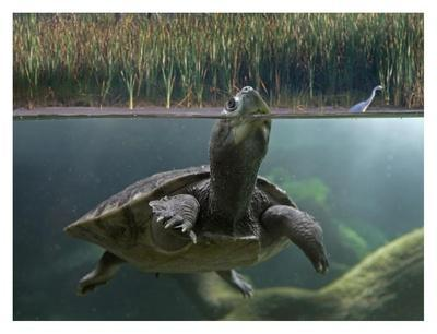 Turtle breathing at surface, Jurong Bird Park, Singapore-Tim Fitzharris-Framed Art Print