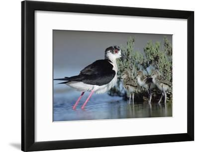 Black-winged Stilt mother with three chicks, Camargue, France-Tim Fitzharris-Framed Art Print
