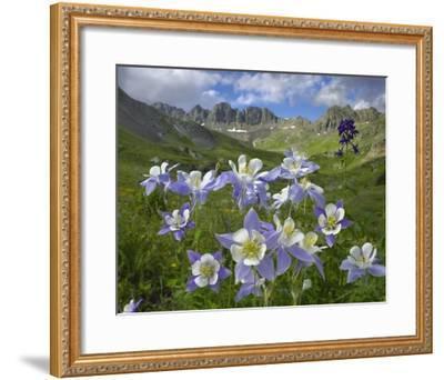 Colorado Blue Columbine meadow at American Basin, Colorado-Tim Fitzharris-Framed Art Print