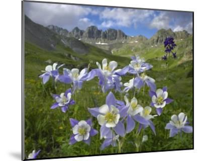 Colorado Blue Columbine meadow at American Basin, Colorado-Tim Fitzharris-Mounted Art Print