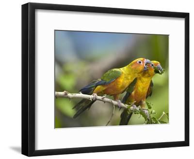 Sun Parakeet pair feeding on leaves, native to South America-Tim Fitzharris-Framed Art Print