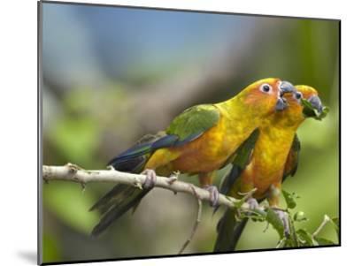 Sun Parakeet pair feeding on leaves, native to South America-Tim Fitzharris-Mounted Art Print