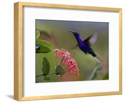 Violet Sabre-wing male hummingbird feeding at flower, Costa Rica-Tim Fitzharris-Framed Art Print